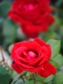 SML-red-rose