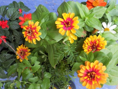 Pots of Indian blanket, zinnias, and daisies ready for planting